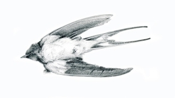 dead swallow, again and again pencil on paper 2014